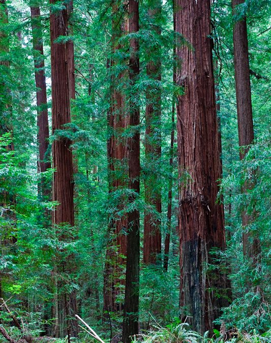 REDWOOD FOREST – BLURS