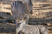 Safari West, The Animals