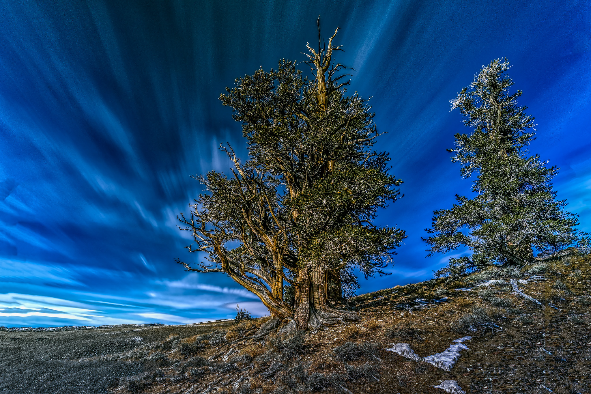Bristol Cone Pine - Worlds Oldest Living Creatures